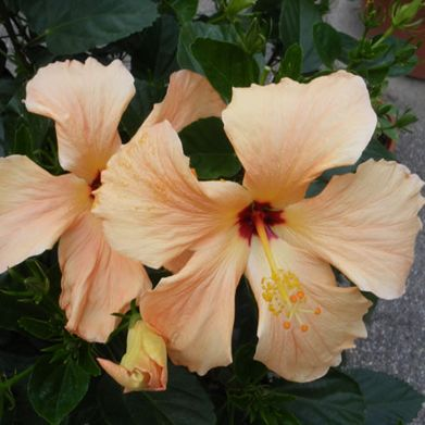 Hibiscus-Yellow