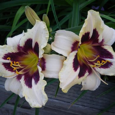 Daylily-White, Purple