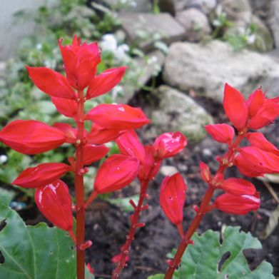 Salvia- Red