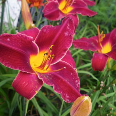 Daylily Red Select