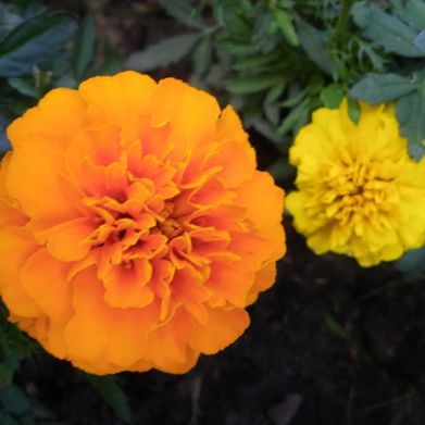 Marigold, Orange