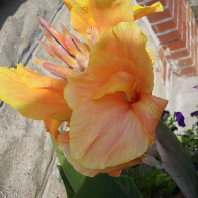Canna Lily-Yellow
